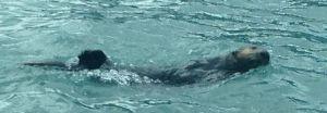 sea otter up close