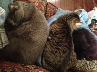 the cats - Piercy, Munchkin and Perry